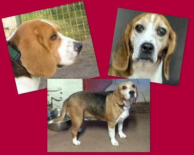 PARRAINAGES Beagle10