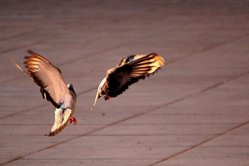FIL ROUGE : Les shoots restant dans la corbeille - Page 2 Pigeon10