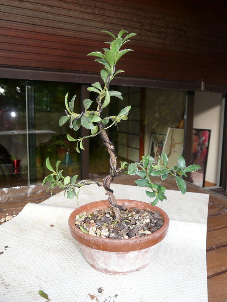 Euonymus japonicus microphyllus  P1070934