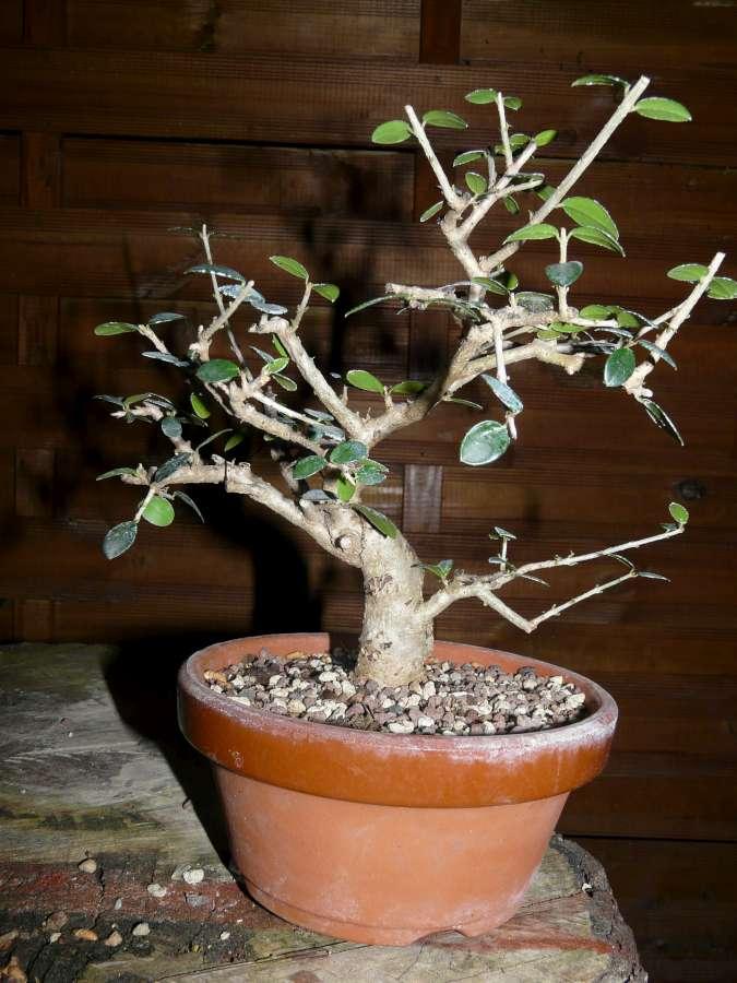 olivier de pepiniere P1080436