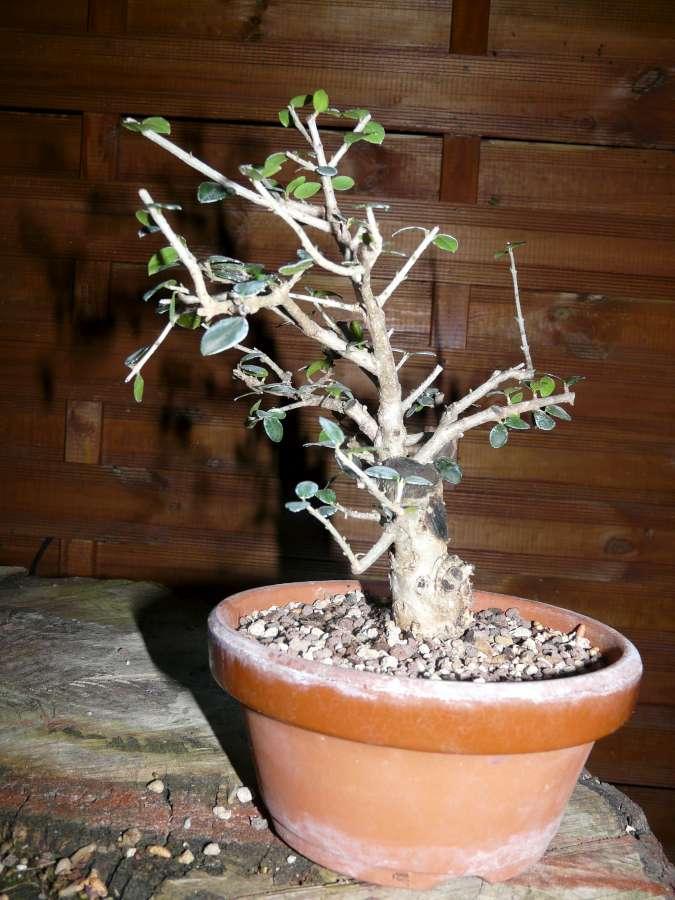 olivier de pepiniere P1080437