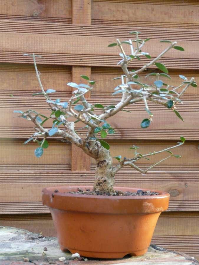 olivier de pepiniere P1080440