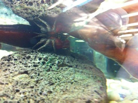 Recherche Information : sur la maintenance des sesarma mederi (crabe a pince rouge) Img_1212