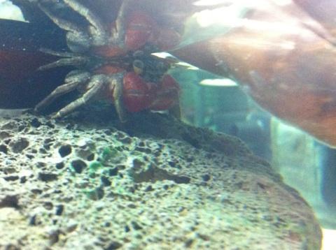 Recherche Information : sur la maintenance des sesarma mederi (crabe a pince rouge) Img_1213