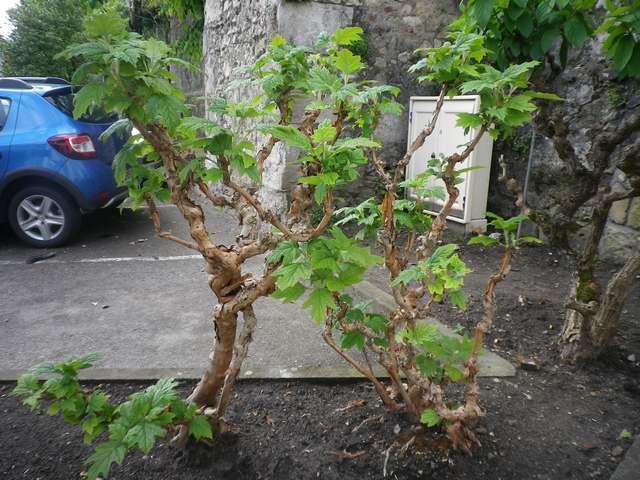 Hydrangea quercifolia......... me semble-t-il !!! 01052010