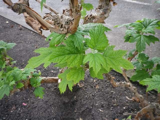 Hydrangea quercifolia......... me semble-t-il !!! 01052011