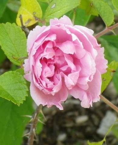 Rosa 'Pink Grootendorst' !!! 04052015
