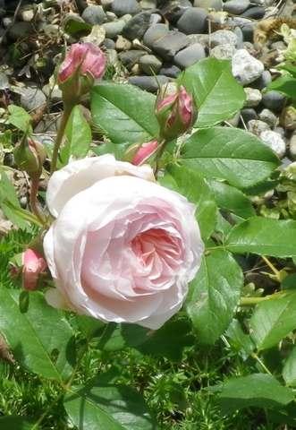 Rosa 'Héritage' !!! - Page 3 04052017