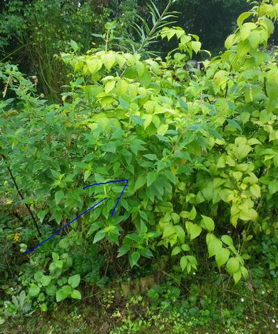 Salvia rutilans !!! - Page 3 06102015