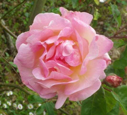 Rosa 'François Juranville' !!! 07052011