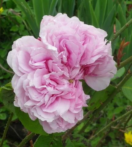 Rosa 'Enfant de France' !!! - Page 2 07052013