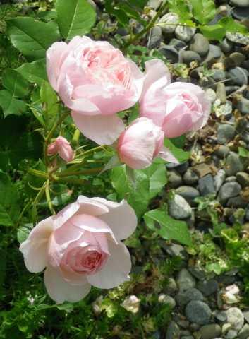 Rosa 'Héritage' !!! - Page 4 08052041