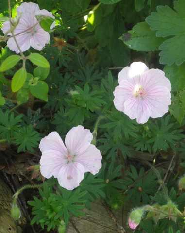 geranium vivace - Page 4 08052055