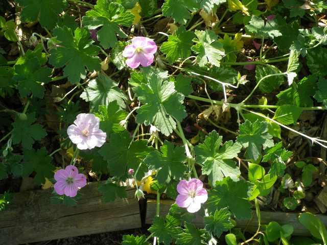 geranium vivace - Page 4 08052056