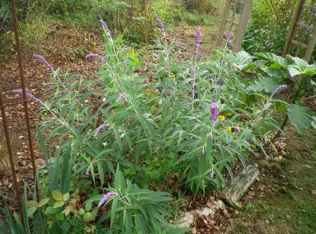 Salvia gélive .........  Salvia leucantha 'Purple velvet' !!! 08102012