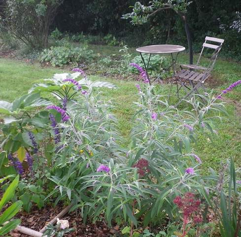 Salvia gélive .........  Salvia leucantha 'Purple velvet' !!! 08102014