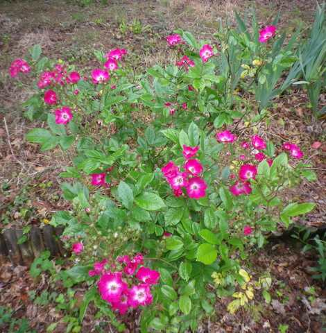 Rosa 'Mozart' !!! - Page 3 09052014