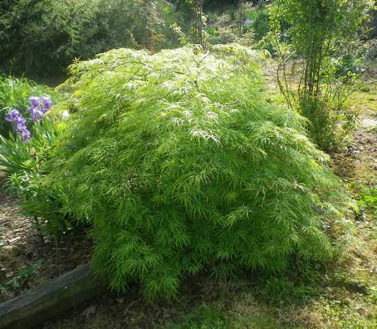 Acer palmatum 'Dissectum' !!! - Page 2 11042032