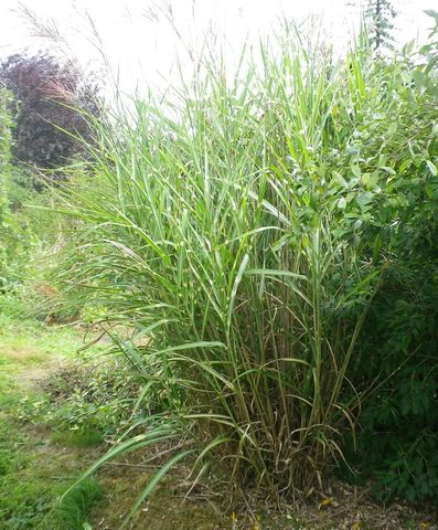 Recherche Plant Herbe de la Pampa 12102010