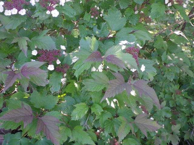 Viburnum sargentii 'Onondaga 15042020