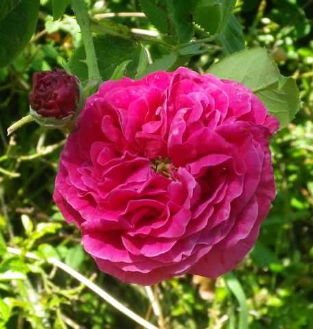 Rosa 'St-Médard' !!! - Page 2 17042033