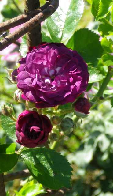 Rosa 'Blue Magenta'  - Page 3 17052012