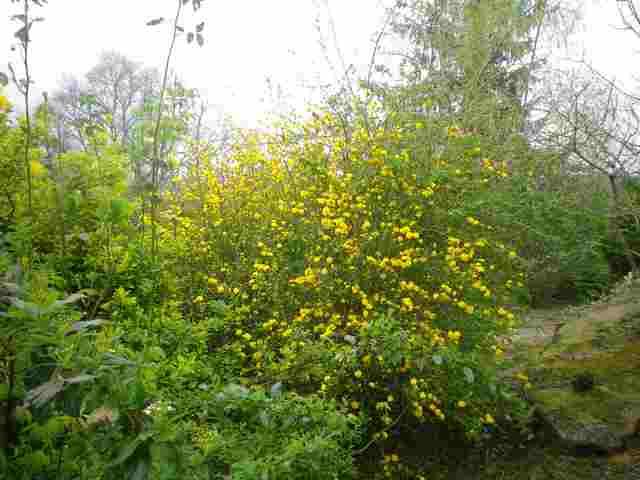 kerria japonica 18032010