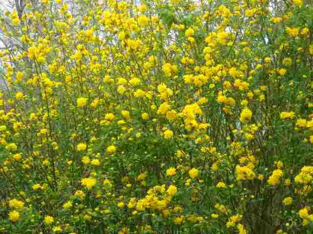 kerria japonica 18032011