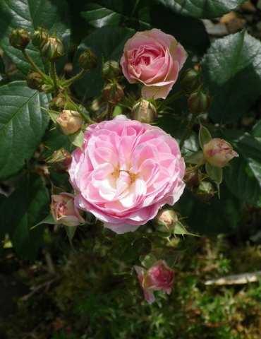 Rosa 'Bouquet Parfait' !!! - Page 5 19052016