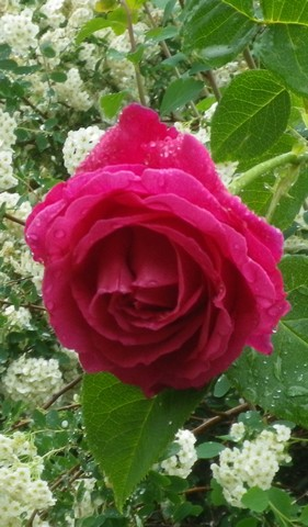 Rosa 'St-Médard' !!! - Page 3 20042010