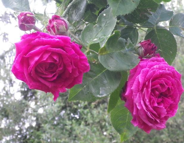 Rosa 'St-Médard' !!! - Page 3 25042014