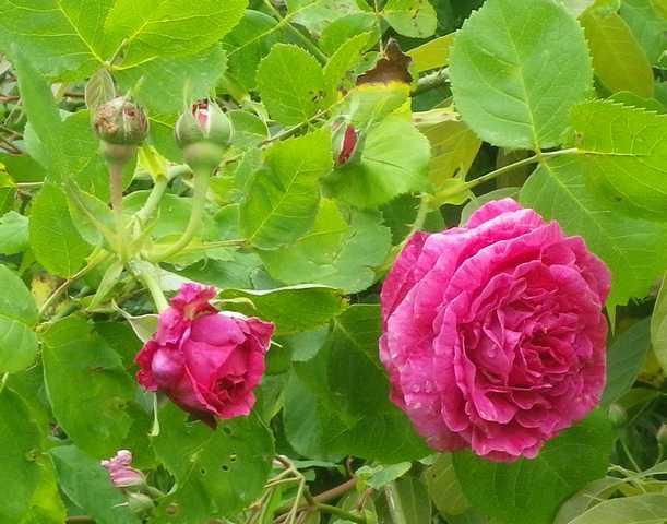 Rosa 'St-Médard' !!! - Page 3 28042012