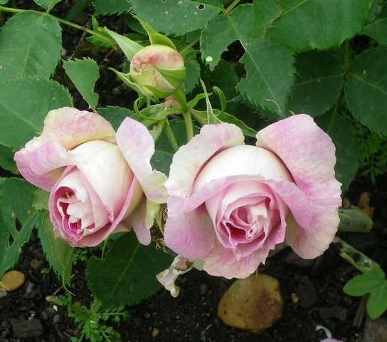Rosa 'Blue Eyes' !!! 29042011