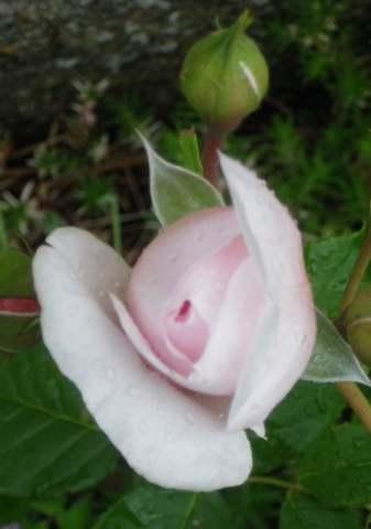 Rosa 'Héritage' !!! - Page 3 29042017
