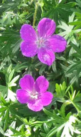 geranium vivace - Page 2 30042020