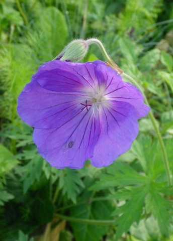 geranium vivace - Page 2 30042021