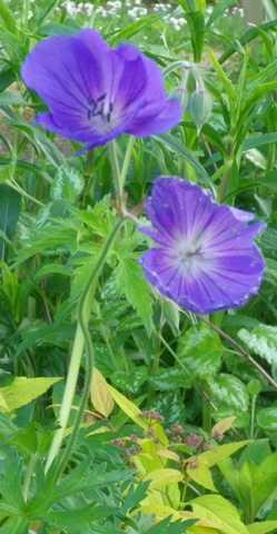 geranium vivace - Page 2 30042022