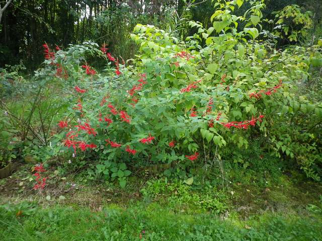 Salvia rutilans !!! - Page 4 30102011