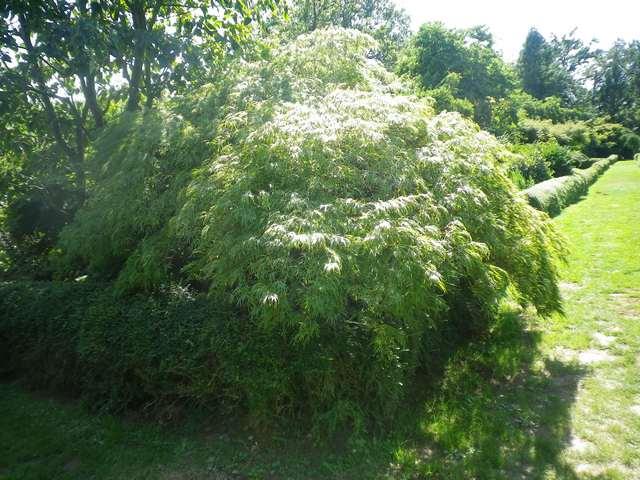 Acer palmatum 'Dissectum' !!! - Page 2 Copie_51