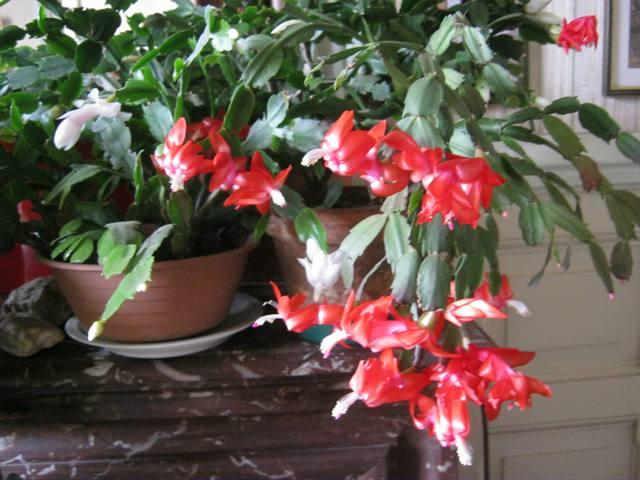 floraison d'un Schlumbergera Dugn10