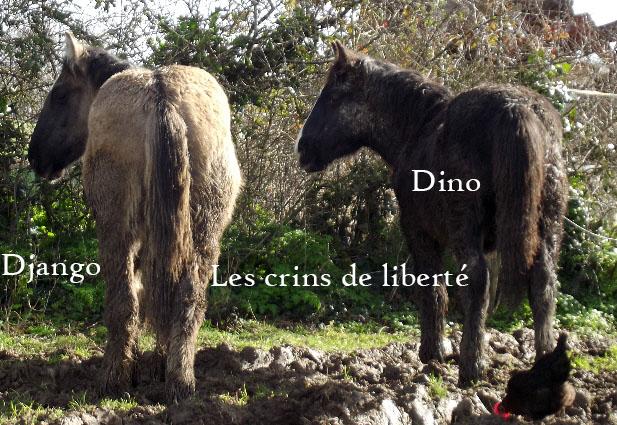 (Dpt 85) Django de l'Aube - Poitevin Mulassier PP - Sauvé par Carine M. ( 2014/Nov 2015) - Page 5 Django12