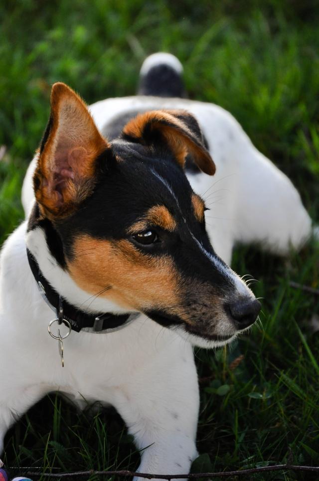 Sparrow, Jack Russell Terrier Dsc_0510