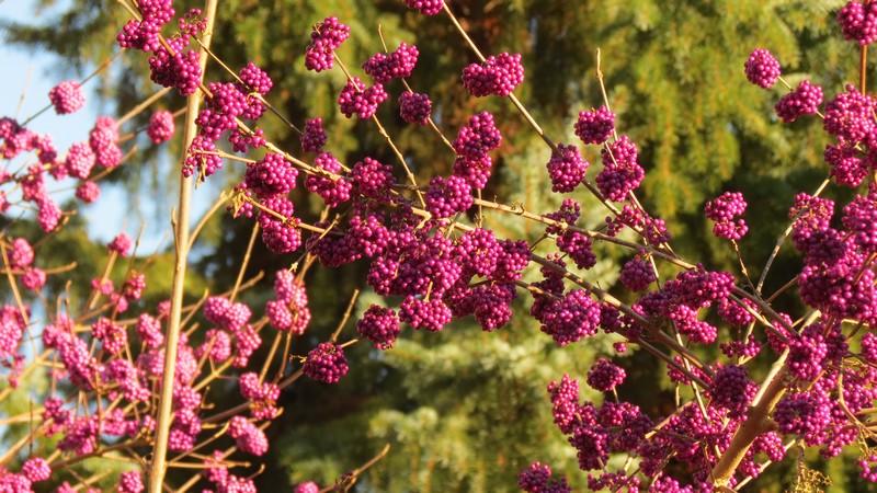 Un arbuste bien fourni Souche11