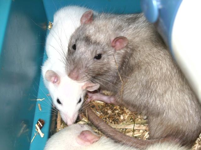 Couleur d'un raton Pict3410