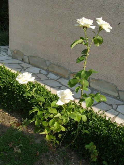 Petit album de roses - Page 2 S1050910