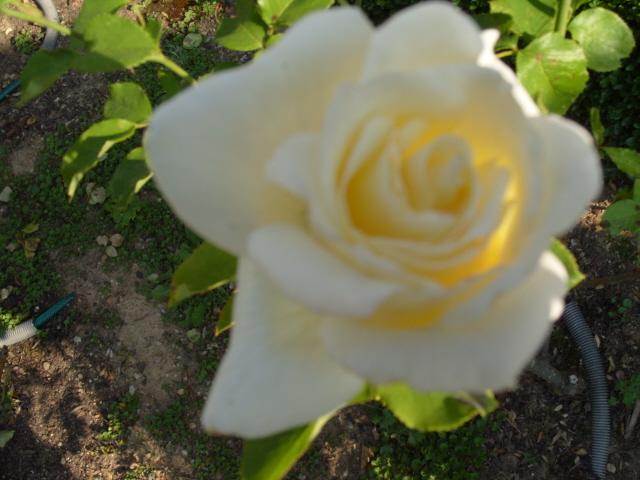Petit album de roses - Page 2 S1050911