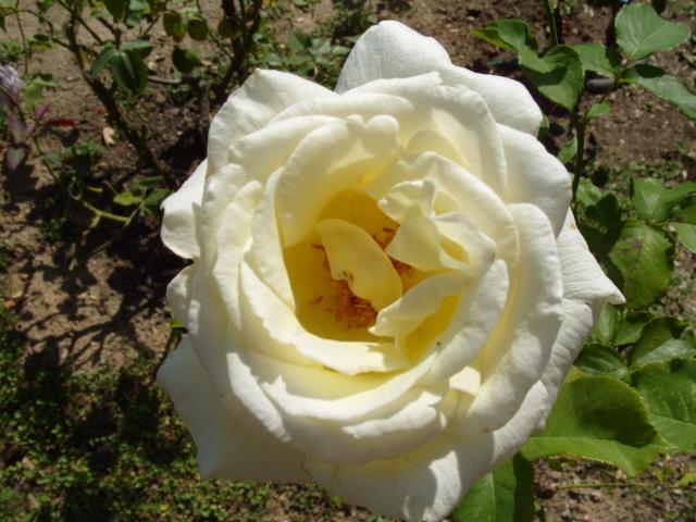 Petit album de roses - Page 2 S1050912