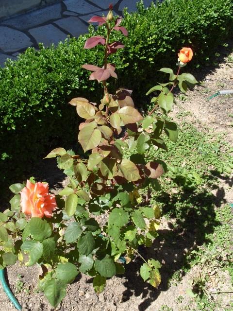 Petit album de roses - Page 2 S1050913