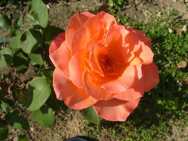 Petit album de roses - Page 2 S1050914