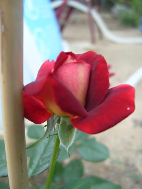 Petit album de roses - Page 2 S1051312